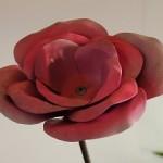 Rose rose et blanche